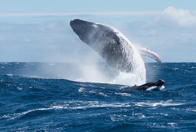 baleines qui sautent